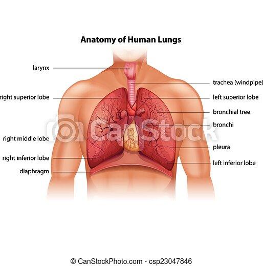 anatomi menneske