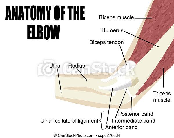 anatomia, łokieć - csp6276034