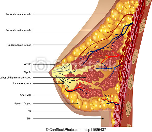 anatomia, breast., vetorial - csp11585437