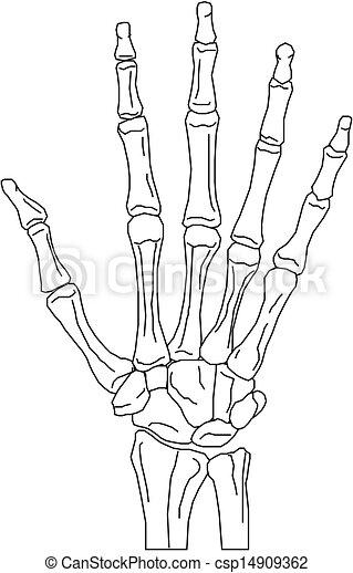 Anatomia Ensinando Modelo Maos Anatomia Ossos Modelo