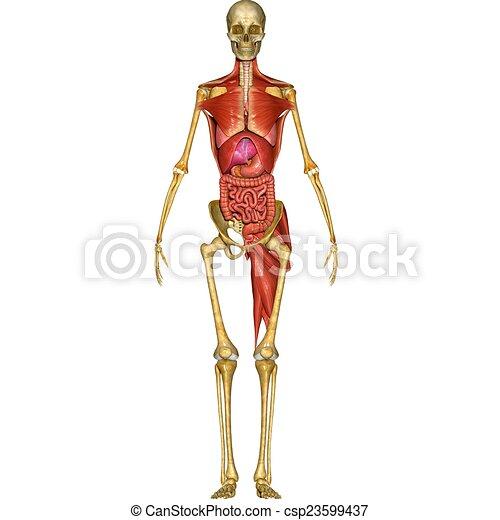 Anatomia Human