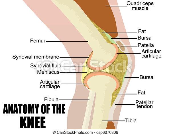 anatomia, joelho - csp6070306