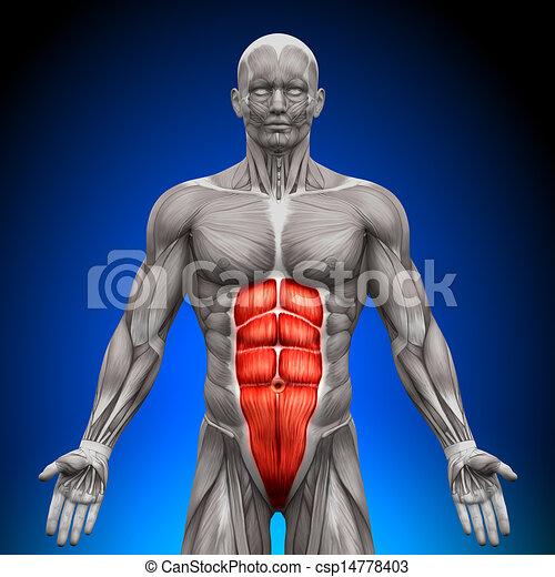 anatomia, músculos, -, abs - csp14778403