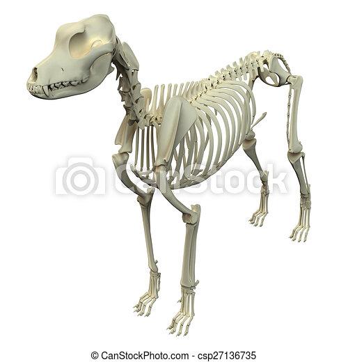 anatomia maschio scheletro cane. Black Bedroom Furniture Sets. Home Design Ideas