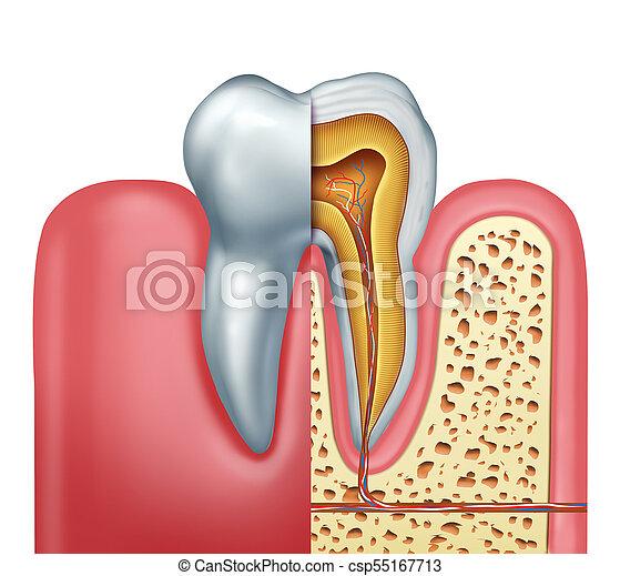 anatomia, pojęcie, ludzki, ząb - csp55167713