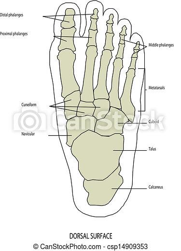 anatomia, stopa, ludzka noga - csp14909353