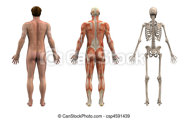 Anatomical Overlays - Adult Male - csp4591439