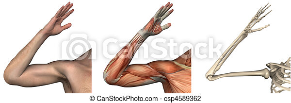 Anatomical Overlays - right arm  - csp4589362