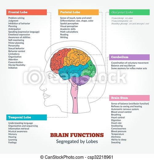 anatomie, cerveau, fonctions, humain - csp32218961