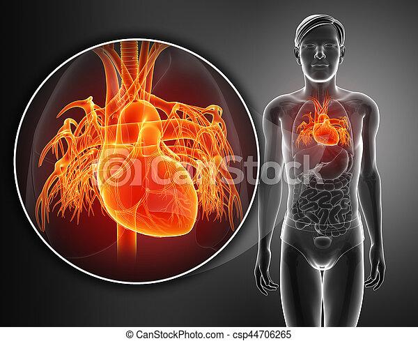 Coeur Humain Photo anatomie, coeur, humain, render, 3d.