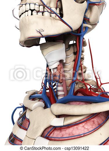 anatomie, cou, humain - csp13091422