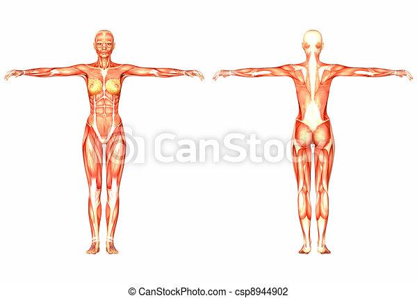Anatomie Corps Humain Femme anatomie, femme, humain. corps, femme, humain, isolé, illustration