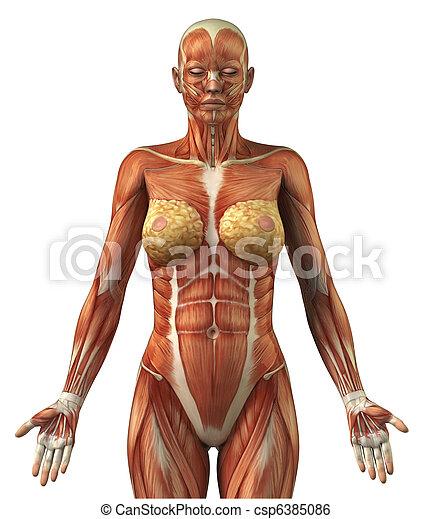Anatomie Corps Humain Femme anatomie, frontal, femme, système, musculaire. corps, antérieur