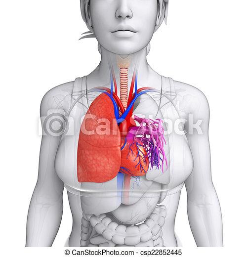 Anatomie Muzsky Plice Anatomie Muzsky Ilustrace Plice