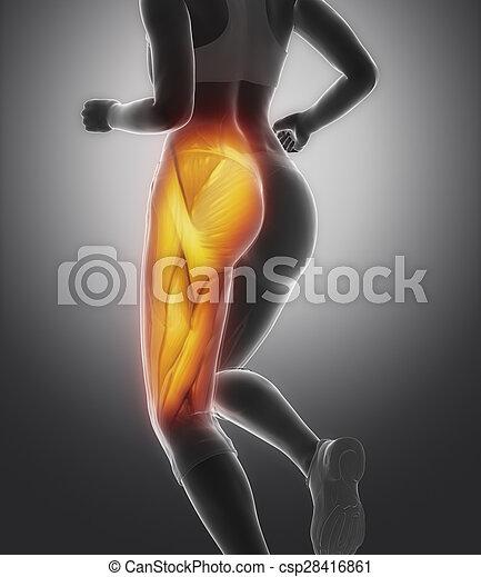 anatomie, muscle, cuisse, femme - csp28416861