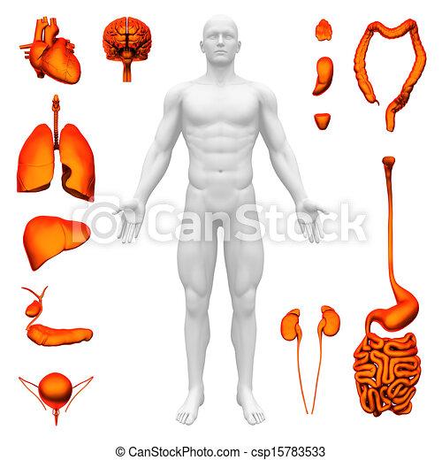 Dessin Corps Humain Organes anatomie, organes, interne, -, humain.