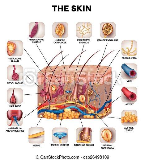 anatomie, peau - csp26498109