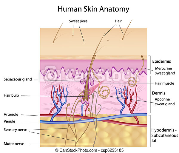 anatomie, peau humaine - csp6235185
