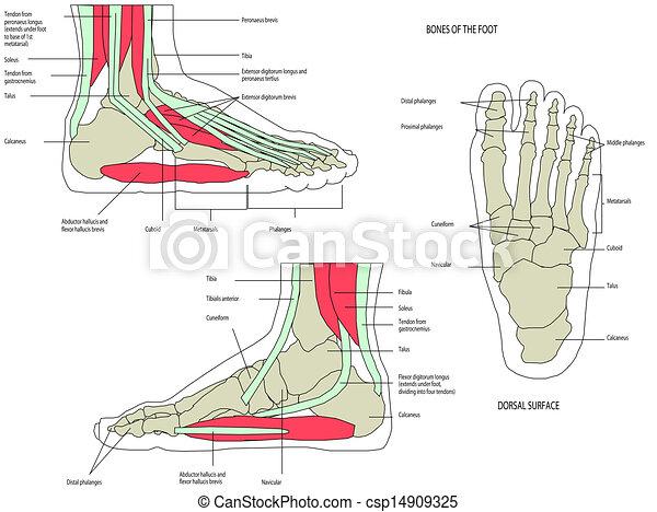 Anatomie Pied anatomie, pied, jambe humaine. jambe, système, musculaire, anatomie