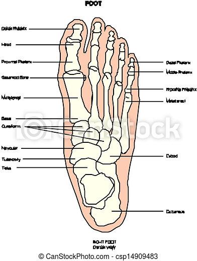 Anatomie Pied anatomie, pied, jambe humaine.