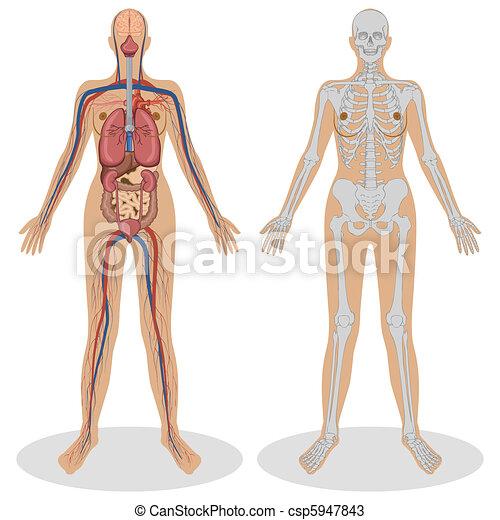 anatomie, vrouw, menselijk - csp5947843