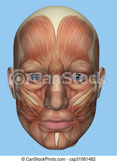 Anatomy front view of face muscles - csp31081482