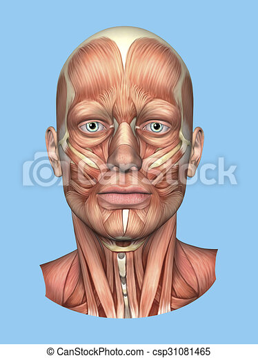 Anatomy Front View of the Major Face Muscles -Male - csp31081465