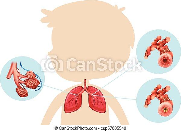 Anatomy of a Boy Lung - csp57805540
