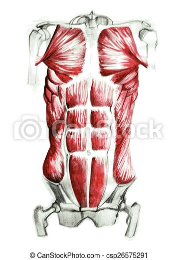 Anatomy Of Abdominal Muscles In Watercolor And Pencil Hand Drawn