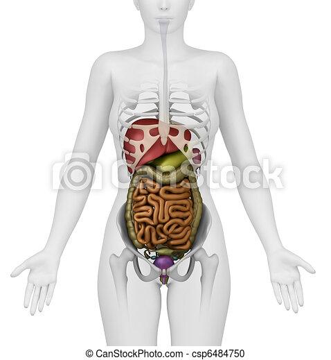 human anatomy abdomen