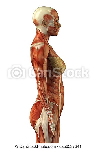 Anatomy Of Female Muscular System Body Without Skin Lateral