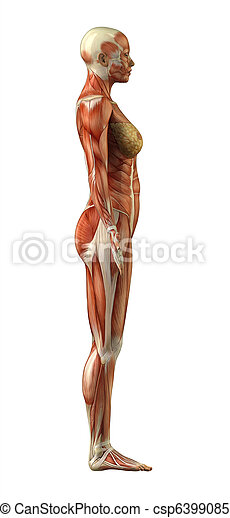 Anatomy of female muscular system - csp6399085