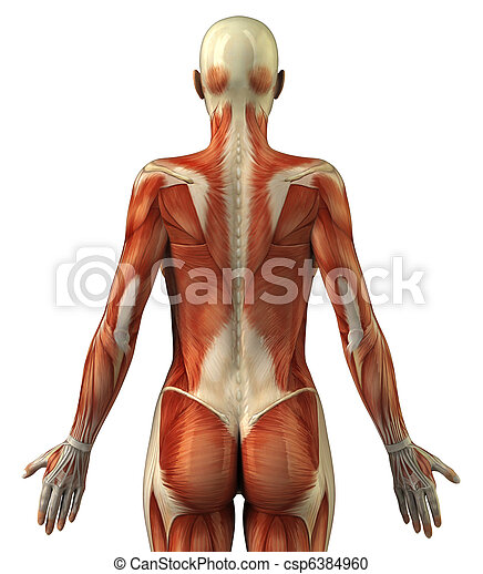 Anatomy Of Female Muscular System Body Without Skin Posterior View