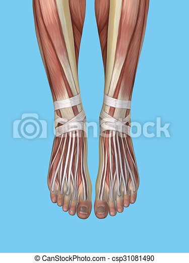 Anatomy of foot and ankle. - csp31081490