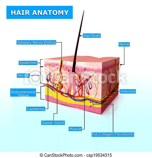 Anatomy Of Human Hair Follicles 3d Rendered Illustration Of Human