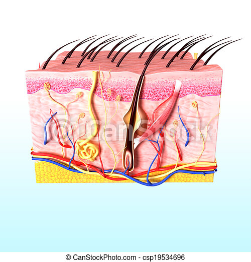 Anatomy Of Human Hair Follicles 3d Rendered Illustration Of Human