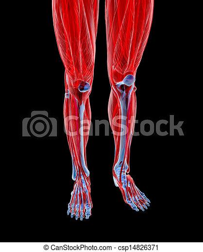 Anatomy of human Legs - csp14826371