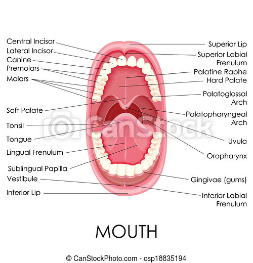 anatomy of human mouth mouth diagram labeled human mouth diagram #15