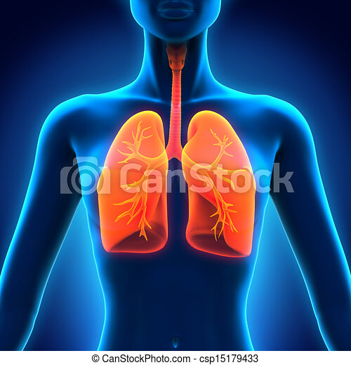 Female Anatomy Of Human Respiratory System 3d Render