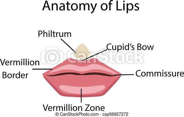 Anatomy of lips, vector illustration isolated for human body study.