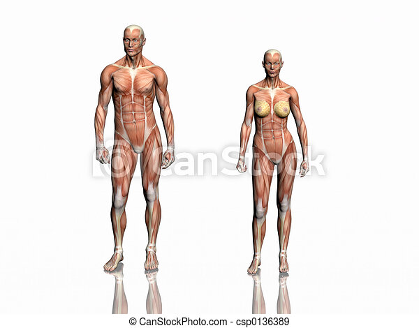 Anatomy Of Man And Woman Anatomically Correct Medical Model Of The