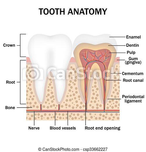 Anatomy Of Teeth Illustration Of Anatomy Of Teeth With Labeling