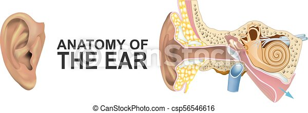 Anatomy of the Ear. - csp56546616