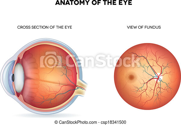 Anatomy of the eye, cross section and view of fundus. detailed ...