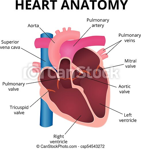 Anatomy Of The Human Heart Human Heart An Organ In A Cut The