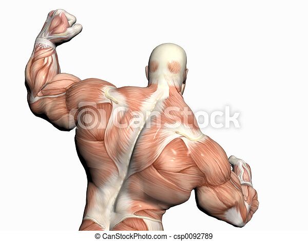 Anatomy Of The Man Body Builder Anatomically Correct Medical Model
