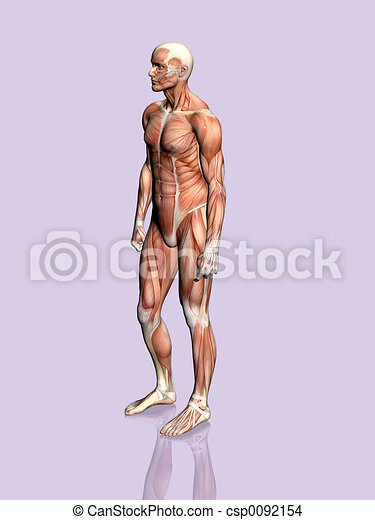 Anatomy Of The Man Anatomically Correct Medical Model Of The Human