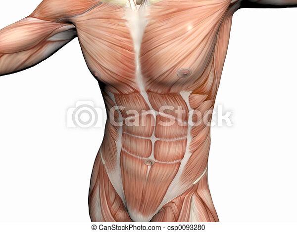 Anatomy of the man, muscular man. Anatomically correct medical model ...
