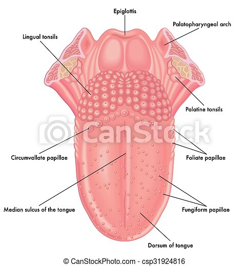 Medical illustration of the anatomy of the tongue.