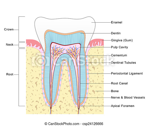 Tooth Diagram | Anatomy Of Tooth Labelled Diagram Of The Structure Of Tooth